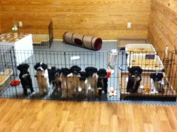 11 Havanese Puppies